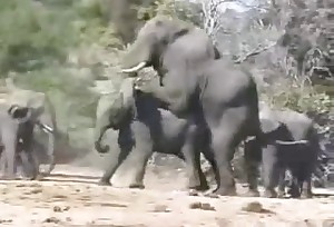 These natural elephants decide to fuck out for fun